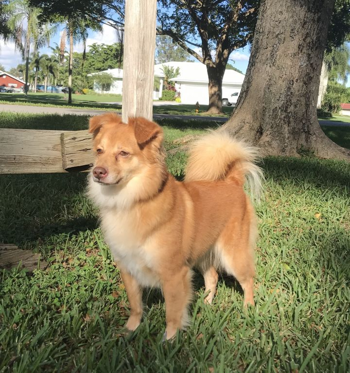 Honey, an adopted Finnish Spitz Mix in Davie, FL