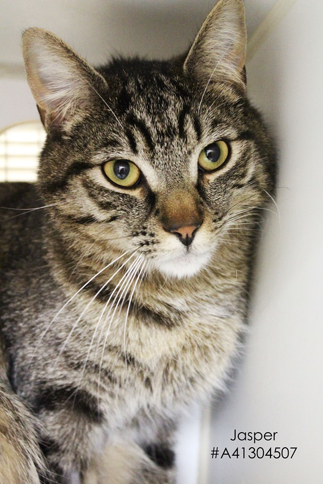 Jasper, an adopted Tabby in Wilkes Barre, PA