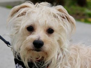 Dog For Adoption Pepe A Maltese Mix In Boulder Co