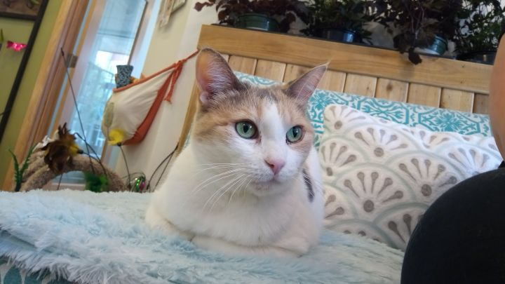 Marzipan (& Phantom), an adopted Dilute Calico & Domestic Short Hair Mix in Redmond, WA