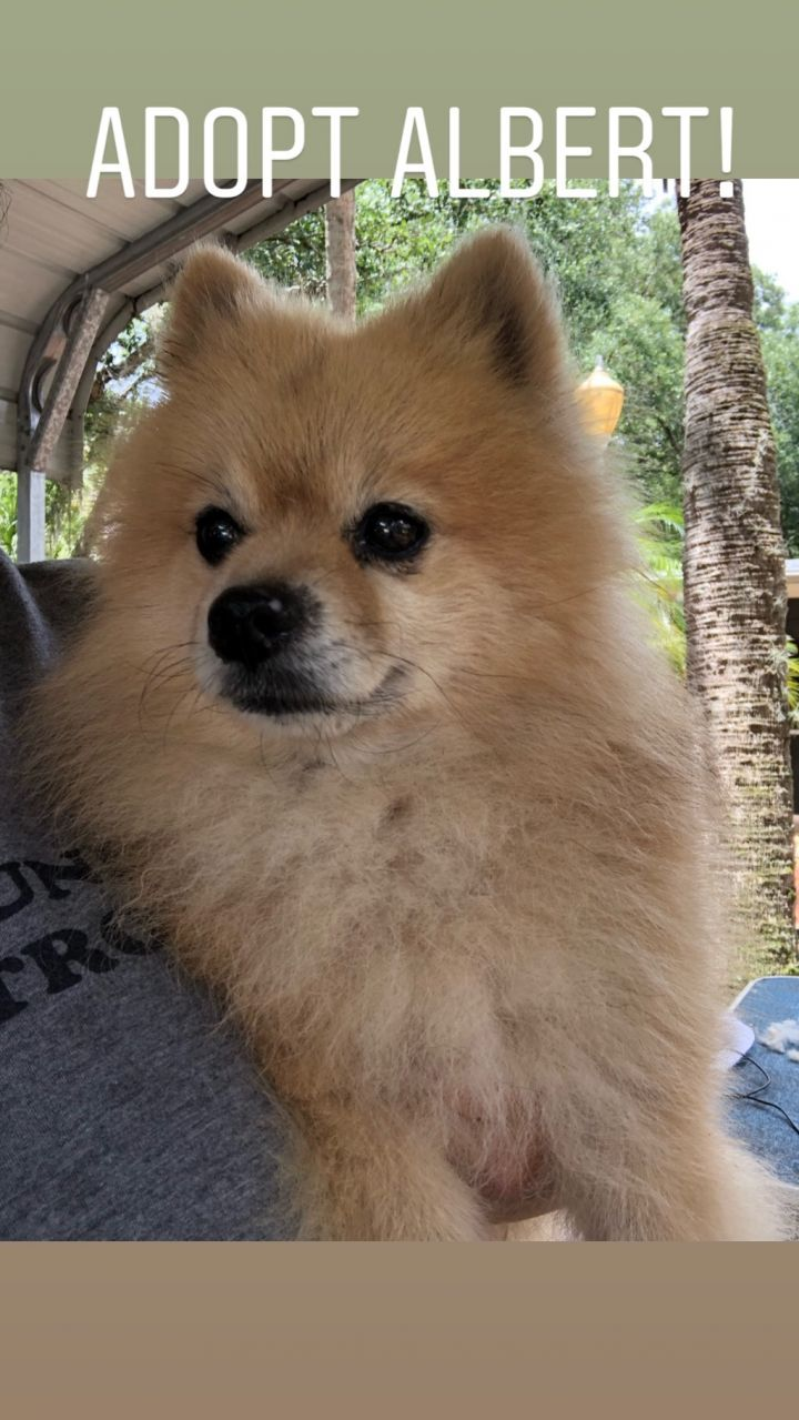Albert, an adopted Pomeranian in Brooklyn, NY