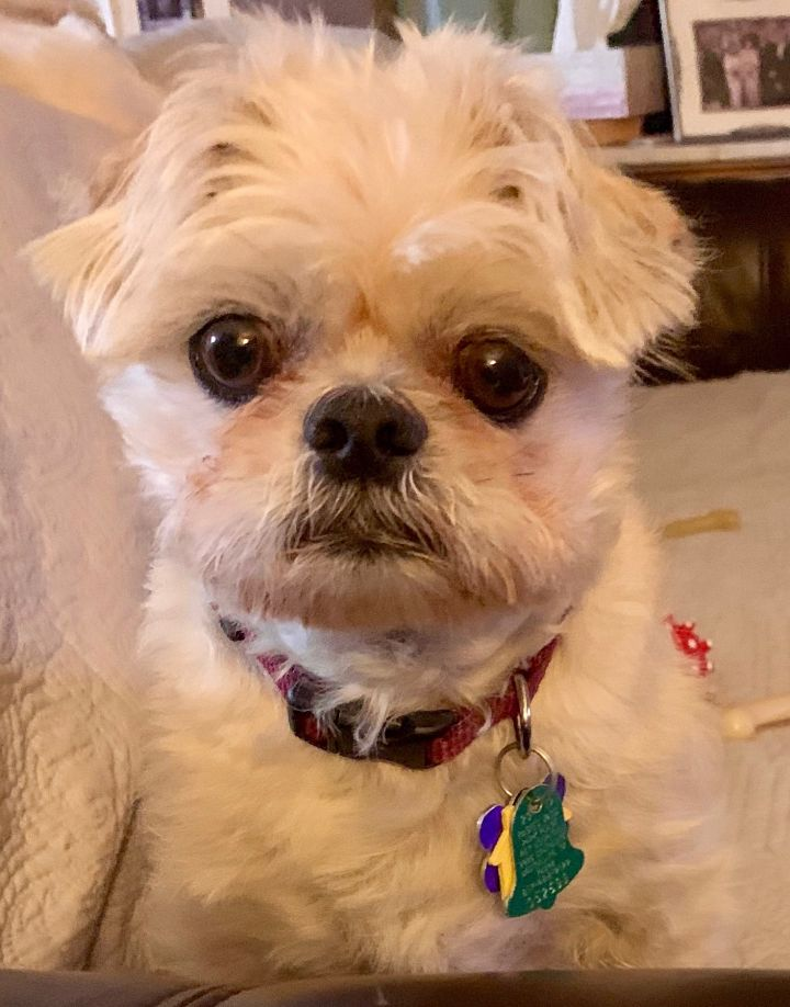 Chuy, an adopted Brussels Griffon Mix in Plano, TX