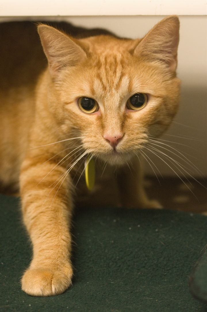 Adelina, an adopted Domestic Short Hair in Bellingham, WA