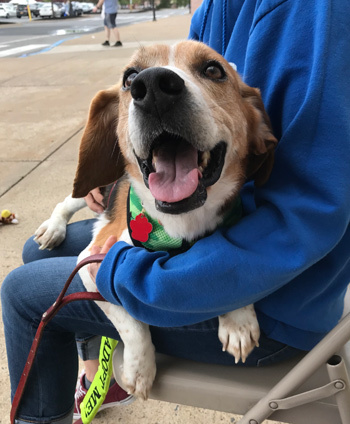 Louie, an adopted Beagle in West Decatur, PA