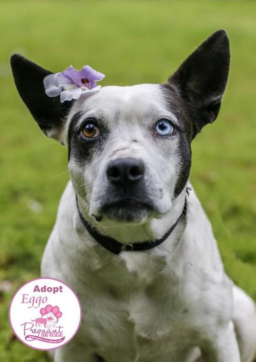 Eggo, an adoptable Australian Cattle Dog / Blue Heeler & Bull Terrier Mix in Griffin, GA