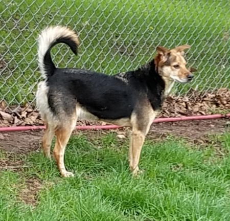 Nina, an adopted German Shepherd Dog & Shiba Inu Mix in Yorkville, IL