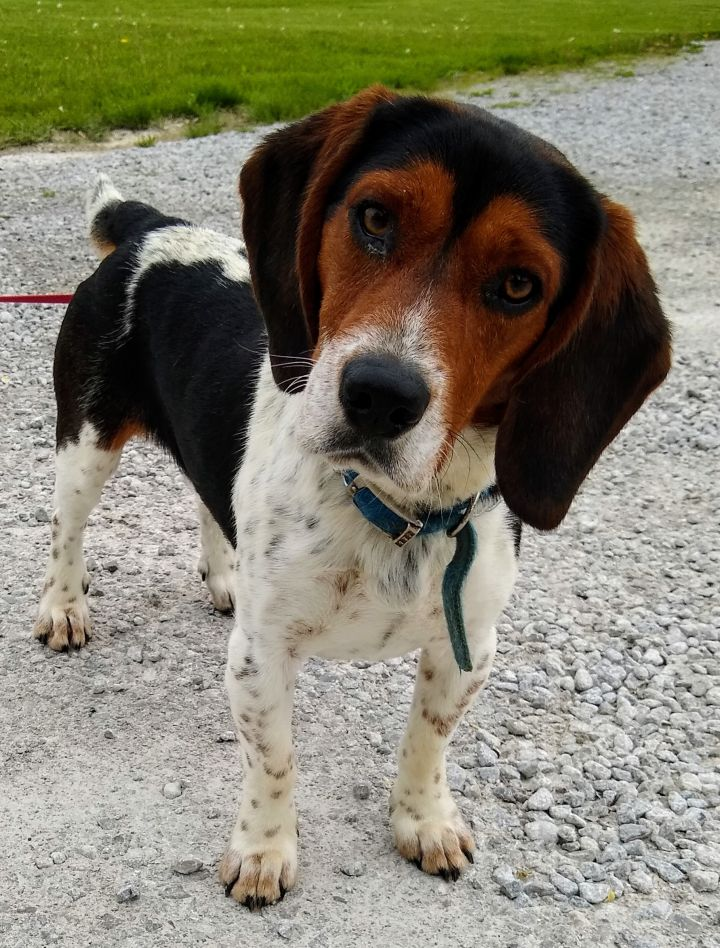 Bo, an adopted Beagle & Basset Hound Mix in Sulphur, KY