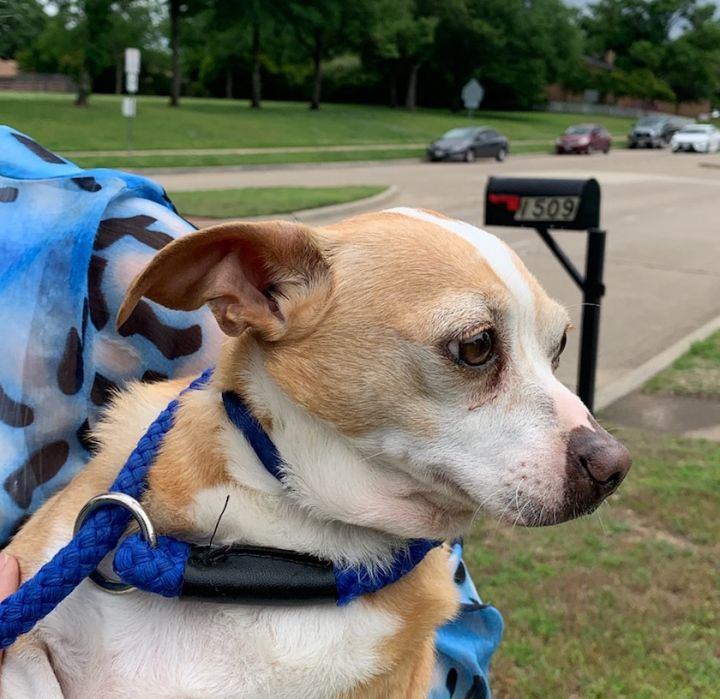 Blue, an adopted Chihuahua & Dachshund Mix in Plano, TX