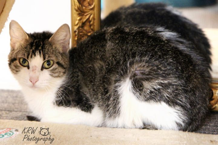 Anise, an adopted Domestic Short Hair & Tabby Mix in Shawnee, KS