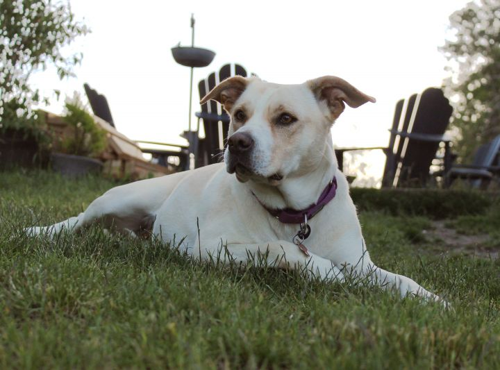 Rylee, an adopted Labrador Retriever & American Staffordshire Terrier Mix in Silvana, WA