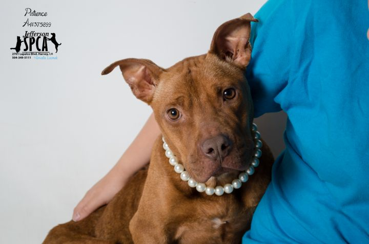 Patience, an adopted Terrier & Pit Bull Terrier Mix in Harvey, LA