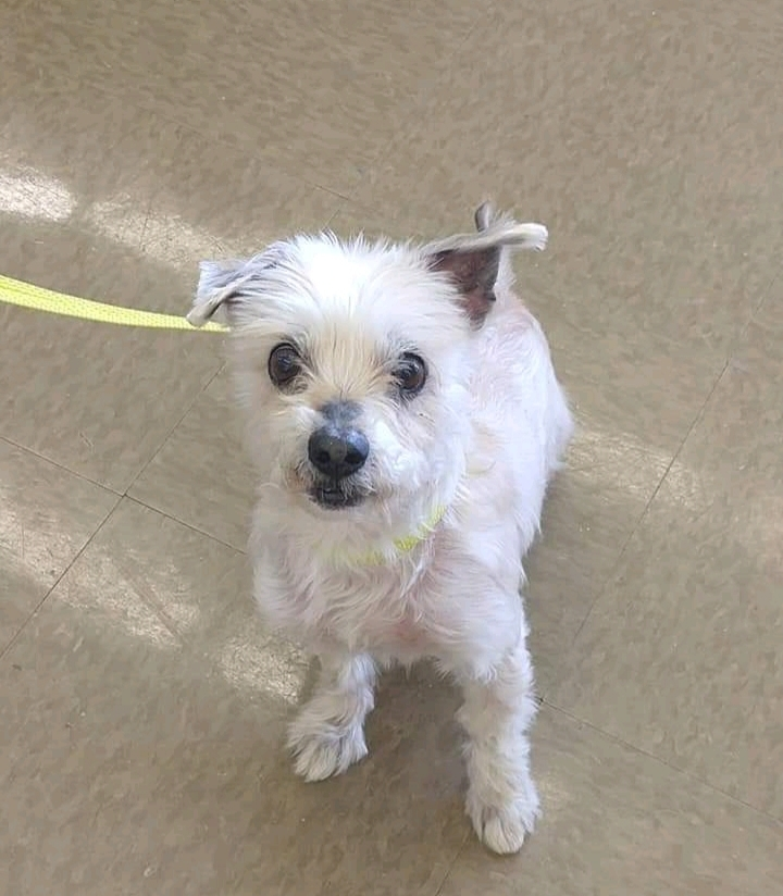 Dwight, an adopted Maltese in Parsippany, NJ