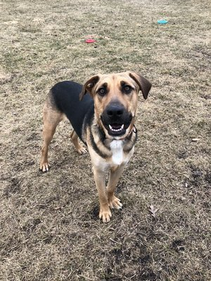 Woody, an adopted Shepherd Mix in Verona, WI