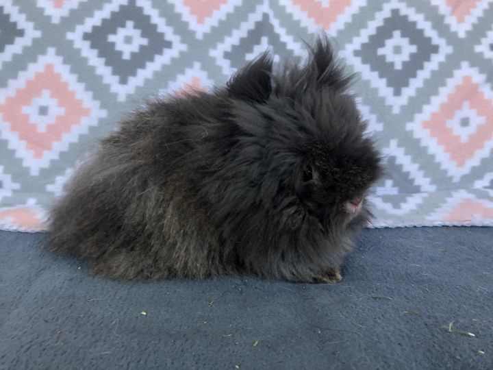 Oscar Meyer, an adopted Lionhead in Appleton, WI