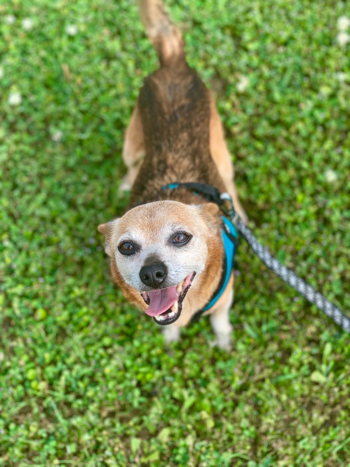 Mr. Rogers, an adopted Border Terrier & Chihuahua Mix in Houston, TX