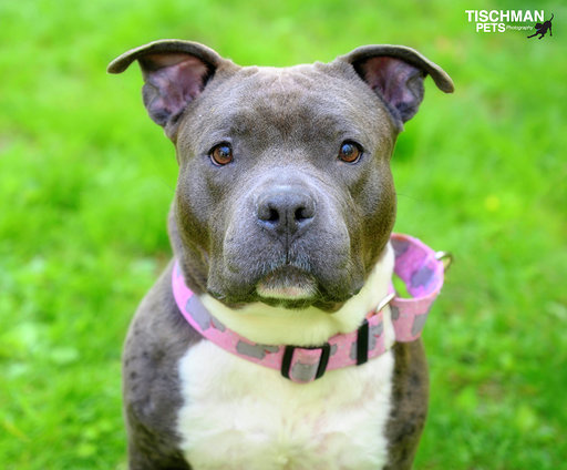 Soybean, an adopted Pit Bull Terrier in Ardsley, NY