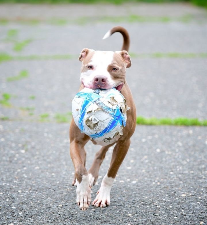 Spot, an adopted Pit Bull Terrier Mix in Mendham, NJ