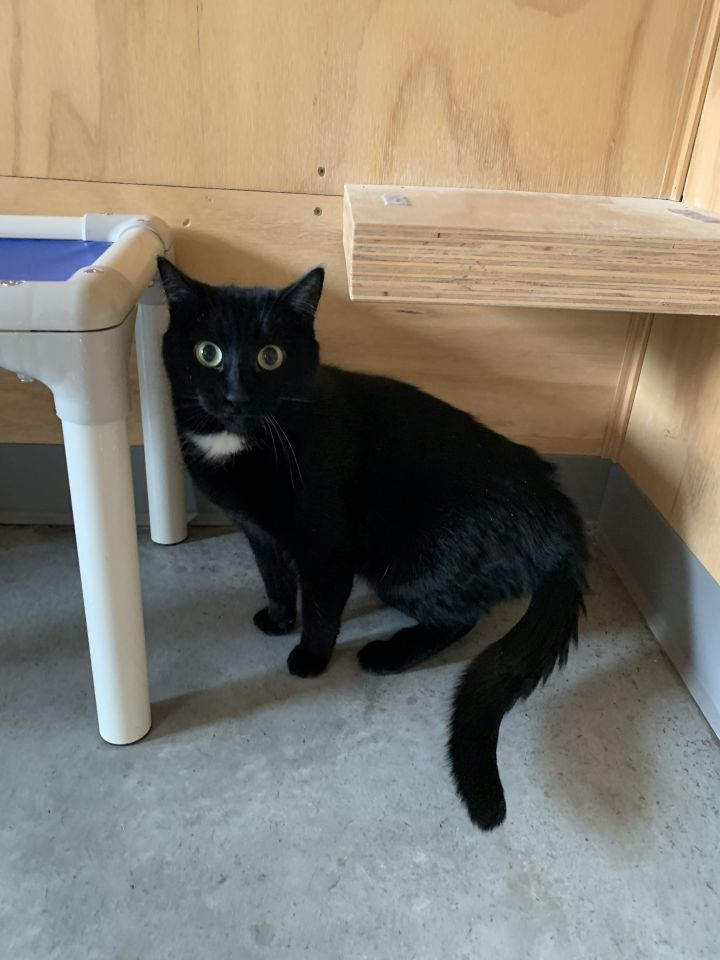 Teva, an adoptable Domestic Short Hair in Jackson, WY