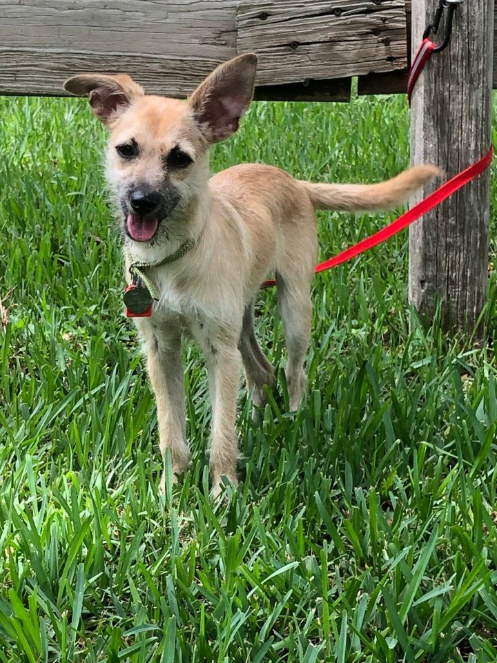 Peep, an adopted Border Terrier Mix in Davie, FL
