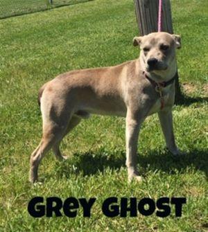Grey Ghost