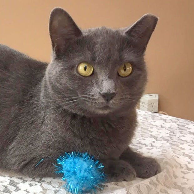 Jewel, an adopted Domestic Short Hair in Pittsburgh, PA_image-1
