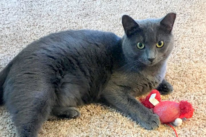 Jewel, an adopted Domestic Short Hair in Pittsburgh, PA_image-2