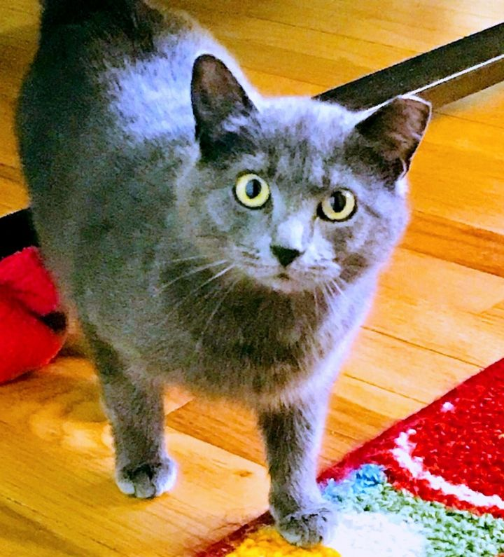Jewel, an adopted Domestic Short Hair in Pittsburgh, PA_image-3