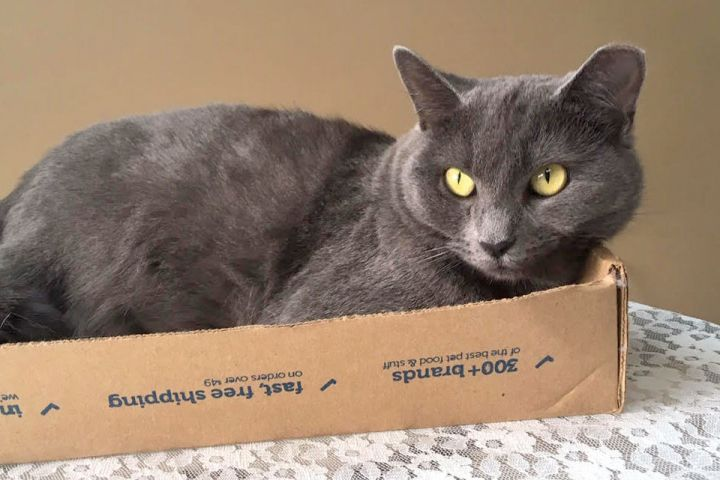 Jewel, an adopted Domestic Short Hair in Pittsburgh, PA_image-4