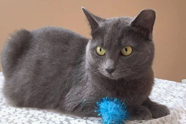 Jewel, an adopted Domestic Short Hair in Pittsburgh, PA_image-5