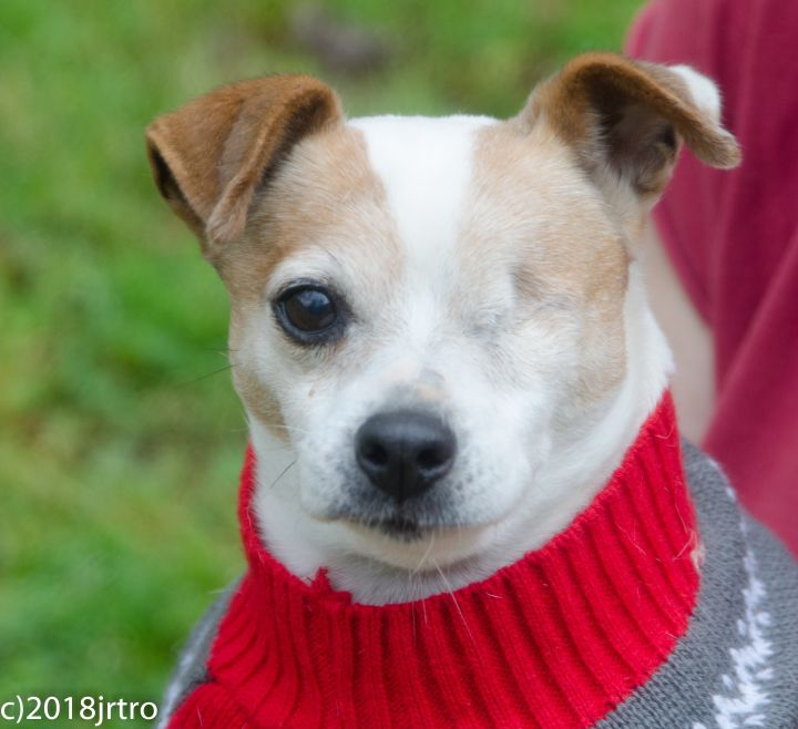 Sugar, an adopted Jack Russell Terrier in Toronto, ON