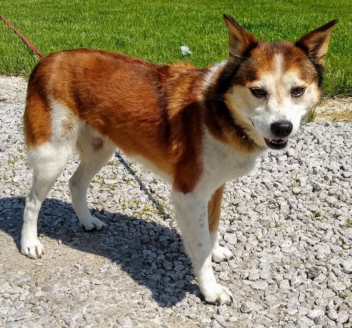 Fox, an adopted Shiba Inu Mix in Sulphur, KY