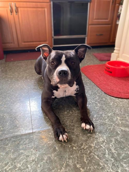 Wrangler, an adoptable Pit Bull Terrier Mix in Catasauqua, PA