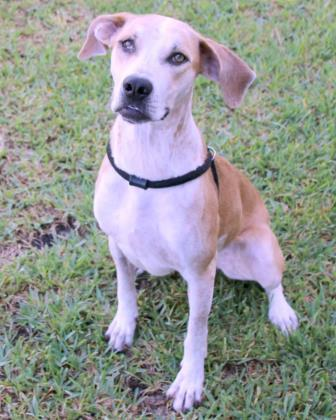 Aspen, an adoptable Black Mouth Cur Mix in Loxahatchee, FL