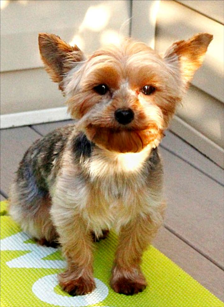 Dog for adoption - Leah, a Yorkshire Terrier in Chambersburg
