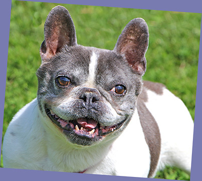 Dog For Adoption Elfie A French Bulldog In Charles Town Wv
