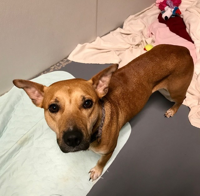 Hannah, an adoptable Black Mouth Cur & German Shepherd Dog Mix in Winter Haven, FL