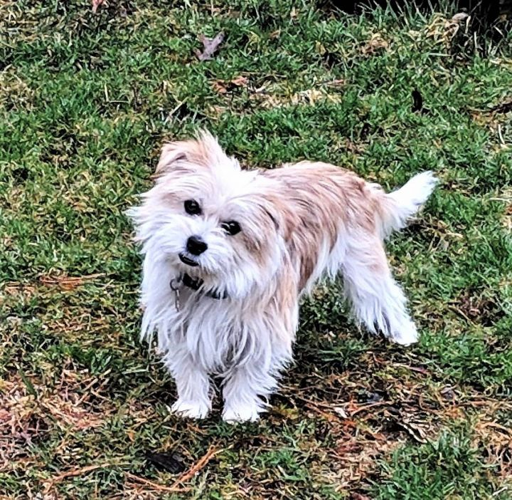 Dog for adoption - SLY, a Maltese & Yorkshire Terrier Mix in