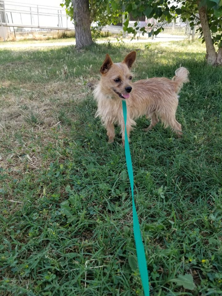 Pepe, an adoptable Terrier Mix in Lemoore, CA