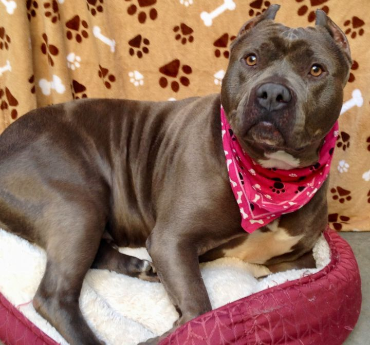 Beautiful Violette, an adoptable Pit Bull Terrier & English Bulldog Mix in Long Beach, CA