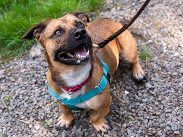 Chanel, an adoptable Pit Bull Terrier & Corgi Mix in Port Townsend, WA