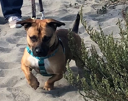 Chanel, an adopted Pit Bull Terrier & Corgi Mix in Port Townsend, WA
