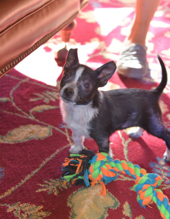 Harris, an adopted Chihuahua & Cattle Dog Mix in Flagstaff, AZ
