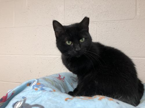 Hannah, an adoptable Domestic Short Hair & American Shorthair Mix in Monroe, MI