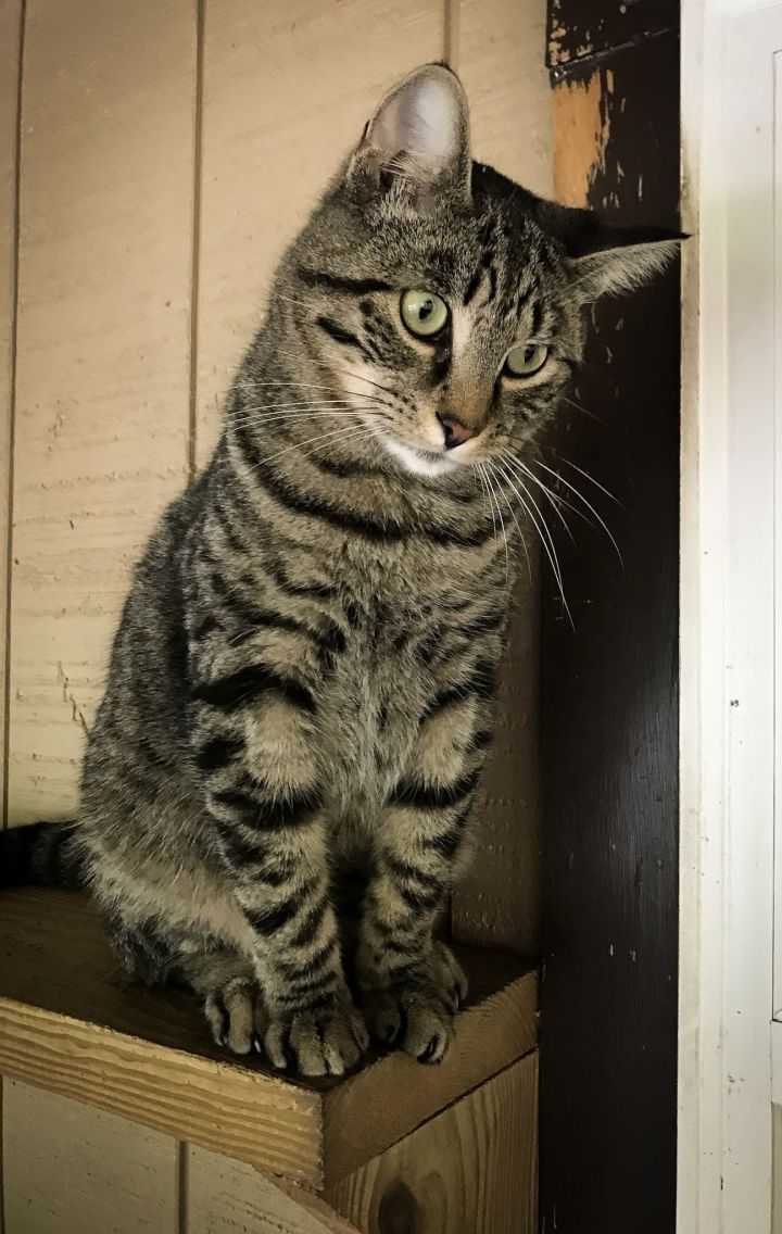 Stripes, an adoptable Domestic Short Hair in Bloomsburg, PA