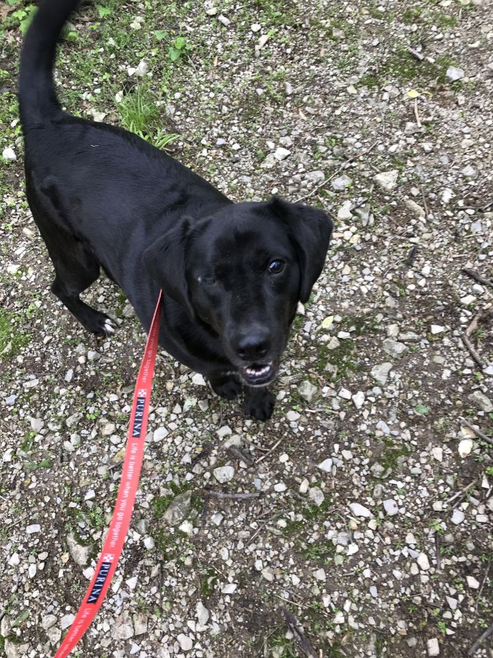 Rocky, an adopted Labrador Retriever Mix in Spencer, IN