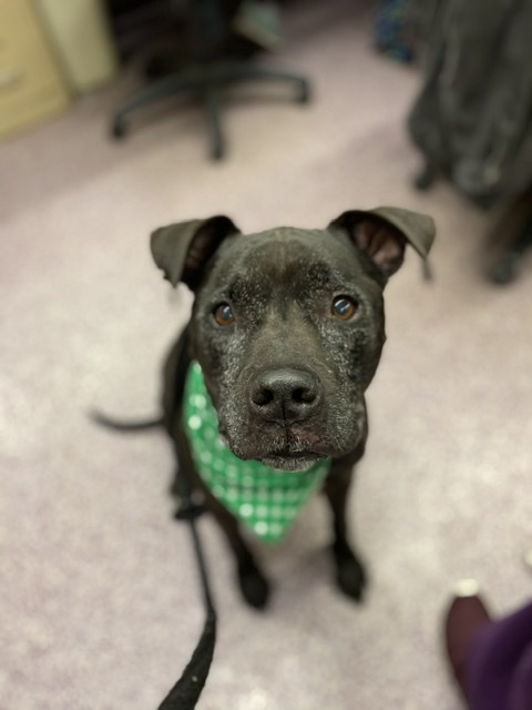 Myla, an adopted Pit Bull Terrier Mix in Harrisburg, PA