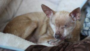 Taz Chihuahua Dog