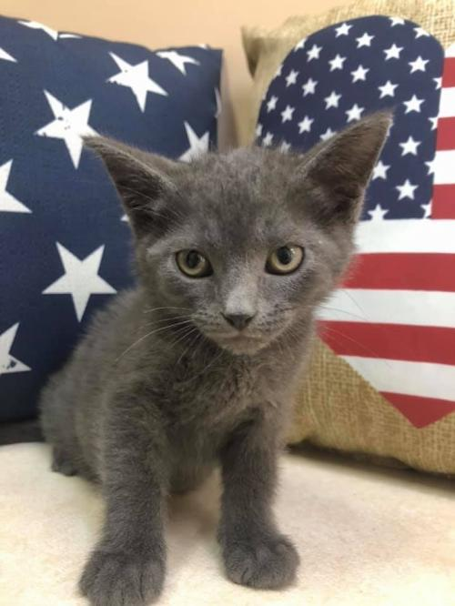 Posie, an adoptable Russian Blue Mix in Mattoon, IL