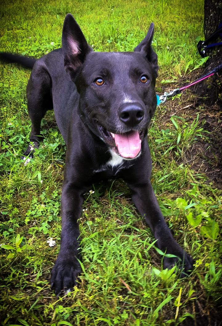 Banjo, an adoptable German Shepherd Dog & Pit Bull Terrier Mix in Bloomsburg, PA