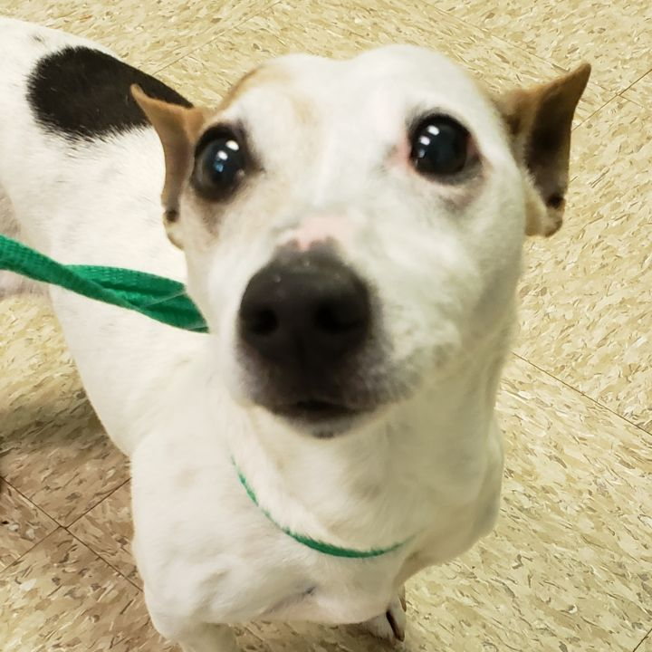 Mark, an adoptable Parson Russell Terrier in Bloomington, IL